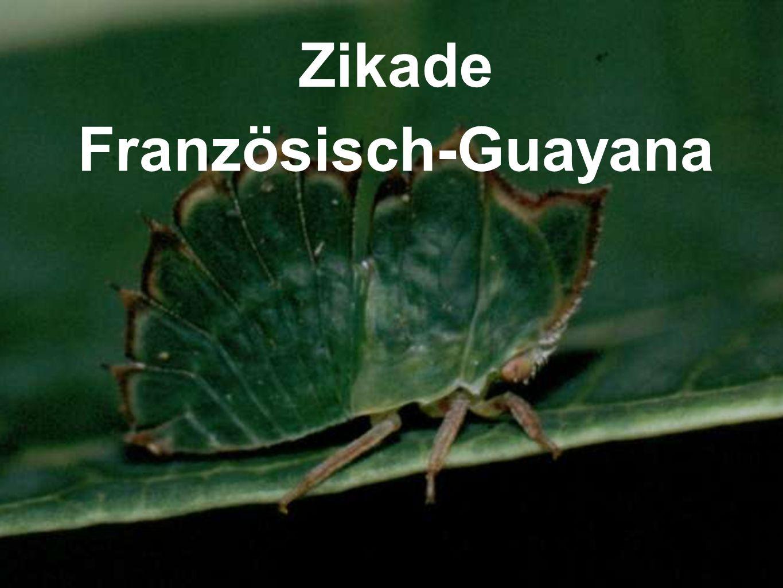 Zikade Französisch-Guayana