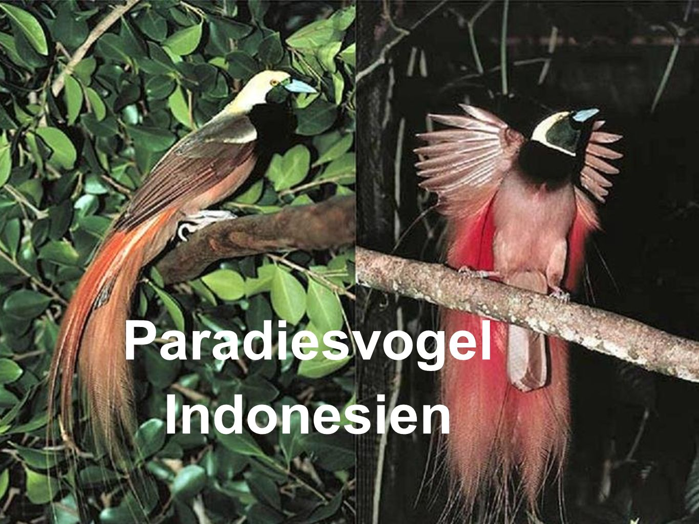 Paradiesvogel Indonesien