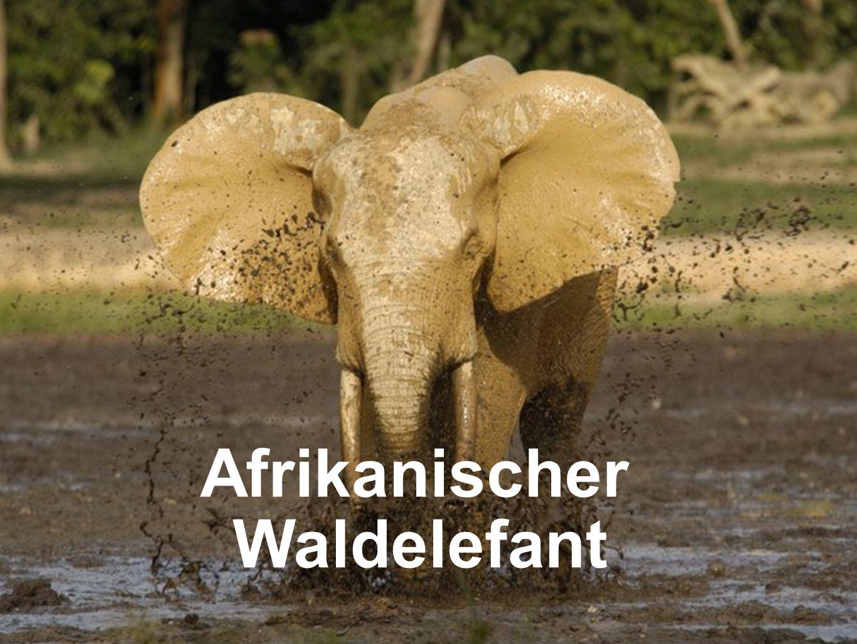 Waldelefant Afrikanischer