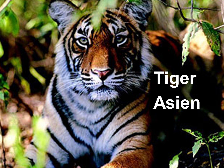 Tiger Asien