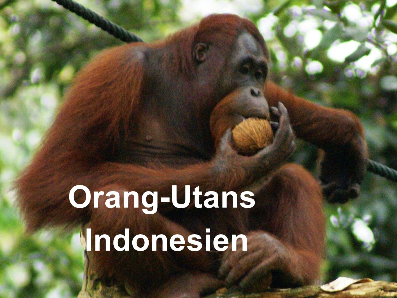 Orang-Utans Indonesien