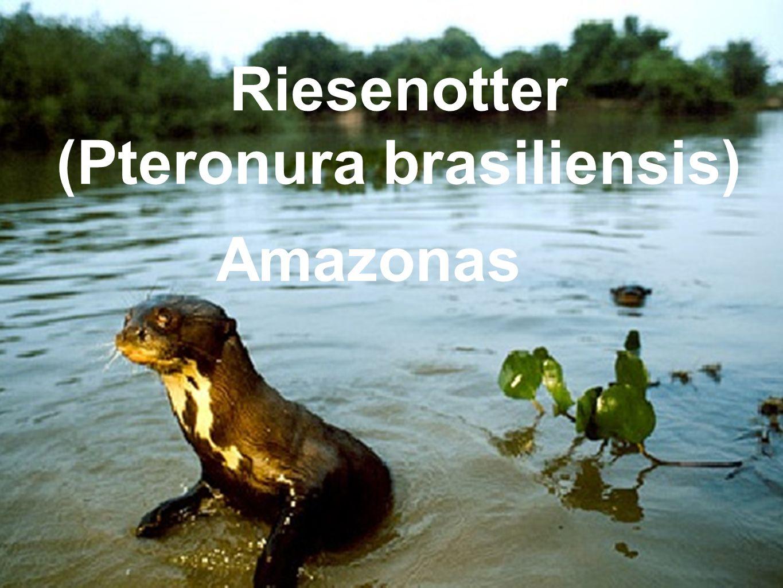 Riesenotter (Pteronura brasiliensis) Amazonas