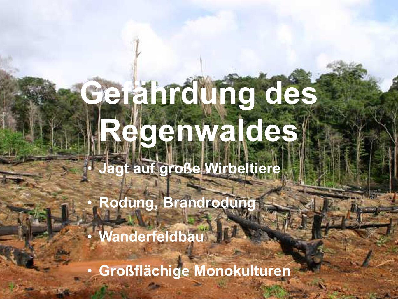 Jagt auf große Wirbeltiere Rodung, Brandrodung Wanderfeldbau Großflächige Monokulturen Gefährdung des Regenwaldes