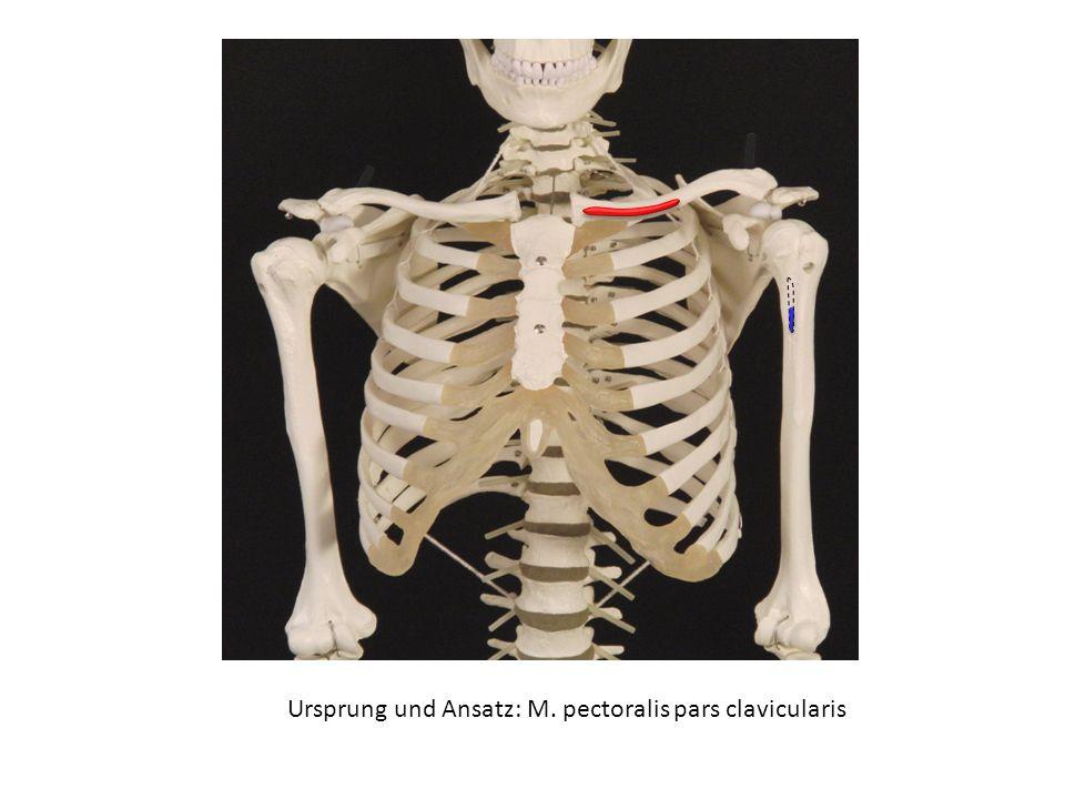 Ursprung und Ansatz: M. pectoralis pars clavicularis