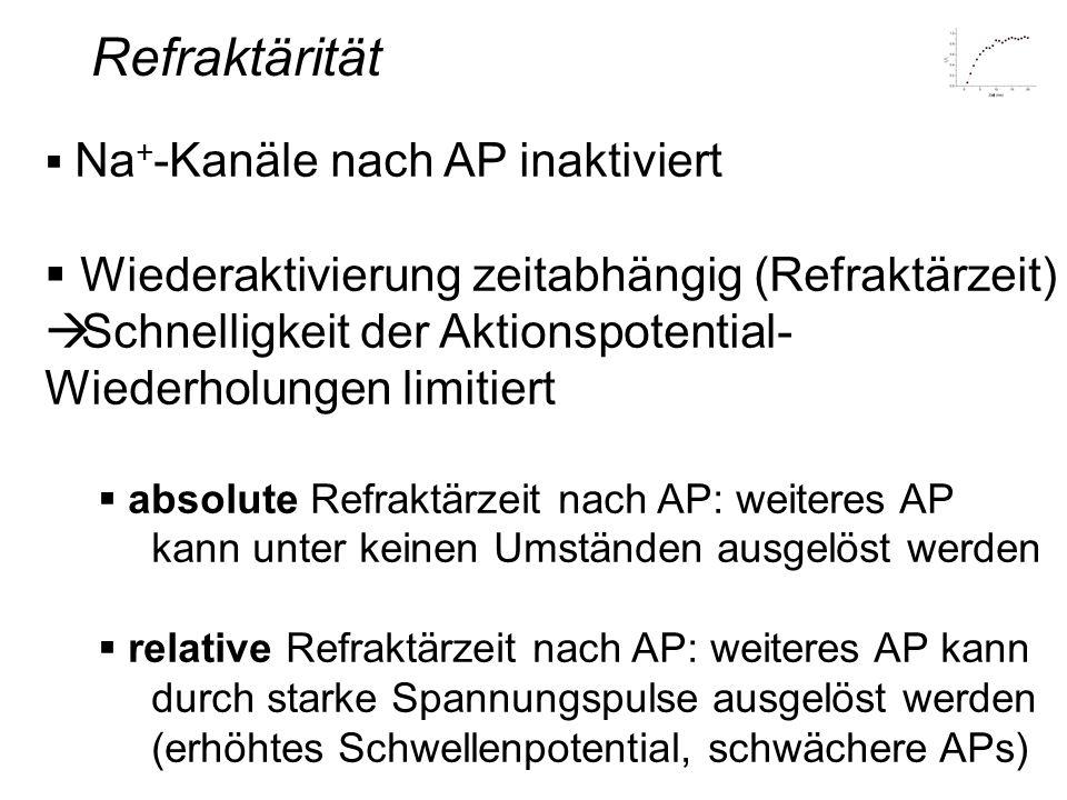 Refraktärität Na + -Kanäle nach AP inaktiviert Wiederaktivierung zeitabhängig (Refraktärzeit) Schnelligkeit der Aktionspotential- Wiederholungen limit