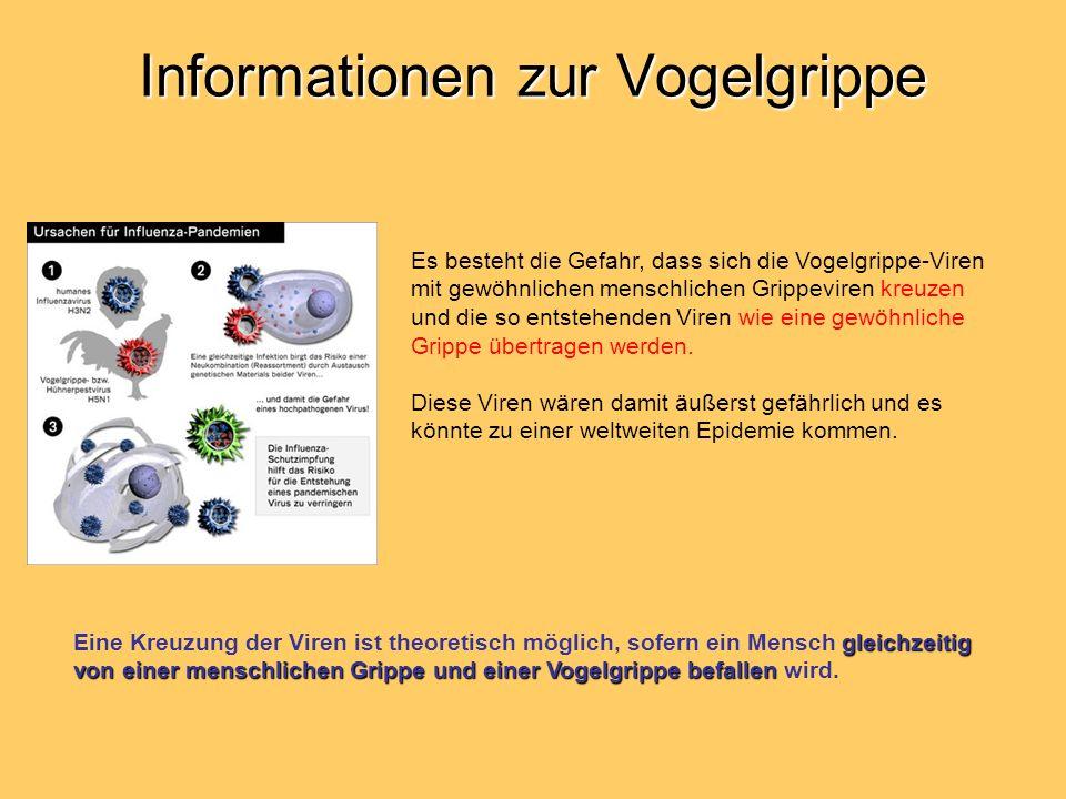 Informationen zur Vogelgrippe Es besteht die Gefahr, dass sich die Vogelgrippe-Viren mit gewöhnlichen menschlichen Grippeviren kreuzen und die so entstehenden Viren wie eine gewöhnliche Grippe übertragen werden.