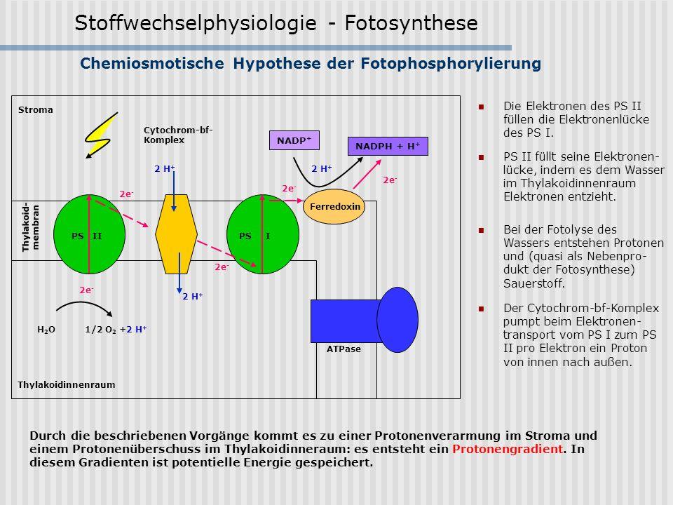 Stoffwechselphysiologie - Fotosynthese Chemiosmotische Hypothese der Fotophosphorylierung PS II füllt seine Elektronen- lücke, indem es dem Wasser im