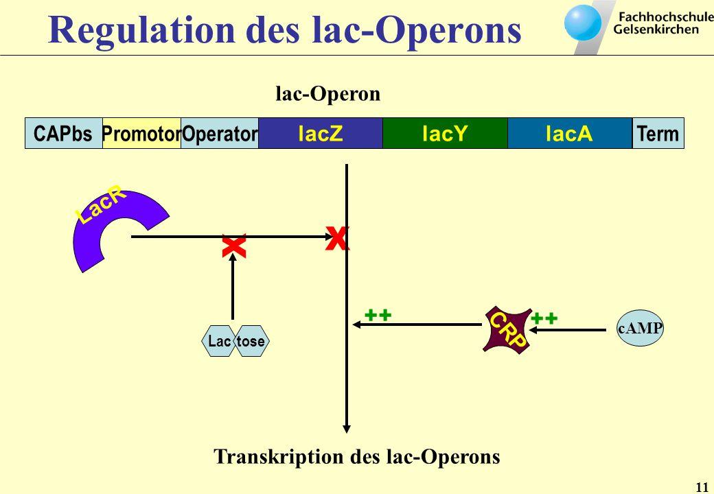11 Regulation des lac-Operons lac-Operon lacZlacAlacY TermOperatorPromotorCAPbs LacR Lactose X X CRP cAMP ++ Transkription des lac-Operons