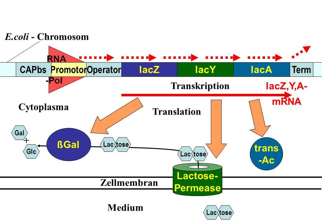 Lactose- Permease RNA -Pol lacZlacAlacY TermOperatorPromotorCAPbs trans -Ac ßGal Lactose Gal Glc + lacZ,Y,A- mRNA Lactose Zellmembran Lactose Cytoplas