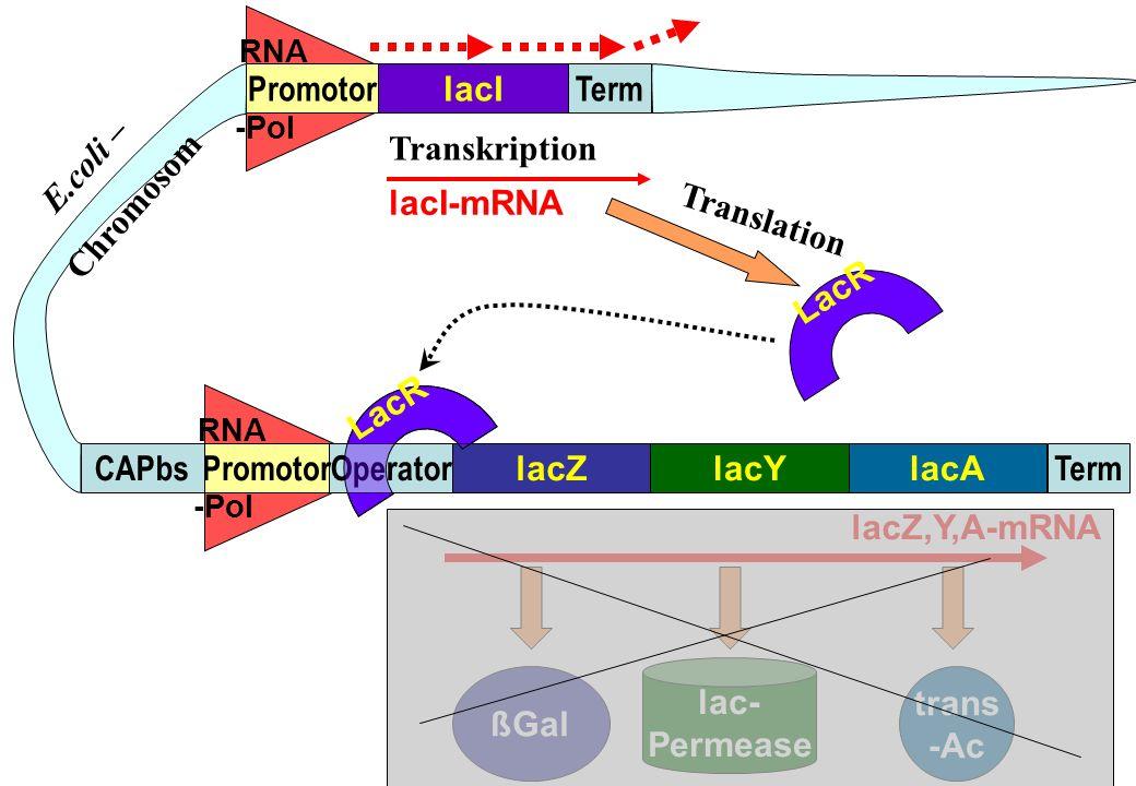 LacR RNA -Pol RNA -Pol lacZlacAlacY TermOperatorPromotorCAPbs lacI TermPromotor trans -Ac lac- Permease ßGal lacZ,Y,A-mRNA LacR lacI-mRNA LacR E.coli