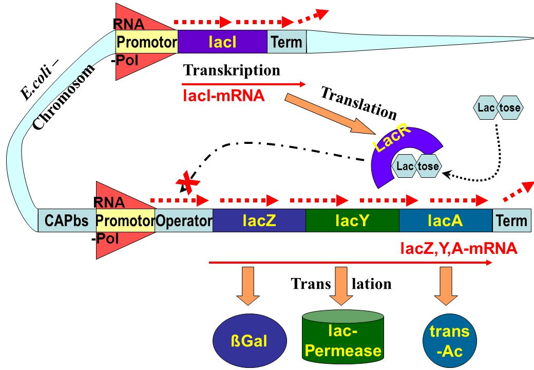 RNA -Pol RNA -Pol lacZlacAlacY TermOperatorPromotorCAPbs lacI TermPromotor trans -Ac lac- Permease ßGal lacZ,Y,A-mRNA LacR lacI-mRNA E.coli – Chromoso