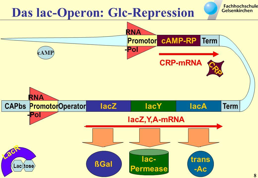 RNA -Pol RNA -Pol RNA -Pol lacZlacAlacY TermOperatorPromotorCAPbs cAMP-RP TermPromotor trans -Ac lac- Permease ßGal lacZ,Y,A-mRNA CRP-mRNA LacR Lactose CRP cAMP CRP cAMP Translation + X Trans lation Anm: cAMP-Rezeptor-Protein (CRP) = catabolite gene activator protein (CAP)