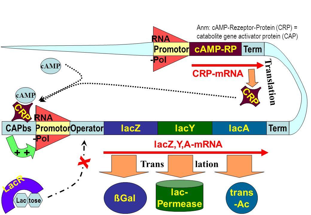 RNA -Pol RNA -Pol RNA -Pol lacZlacAlacY TermOperatorPromotorCAPbs cAMP-RP TermPromotor trans -Ac lac- Permease ßGal lacZ,Y,A-mRNA CRP-mRNA LacR Lactos