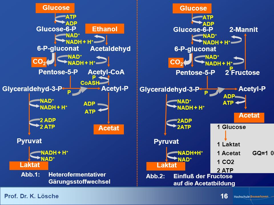 Prof. Dr. K. Lösche 16 Acetyl-CoA Ethanol Acetaldehyd Glucose Glucose-6-P 6-P-gluconat Pentose-5-P Glyceraldehyd-3-P Pyruvat Laktat Acetyl-P Acetat AT