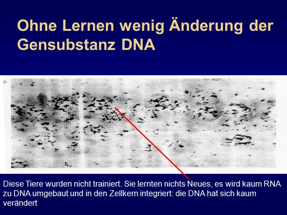 Ohne Lernen wenig Änderung der Gensubstanz DNA Diese Tiere wurden nicht trainiert. Sie lernten nichts Neues, es wird kaum RNA zu DNA umgebaut und in d