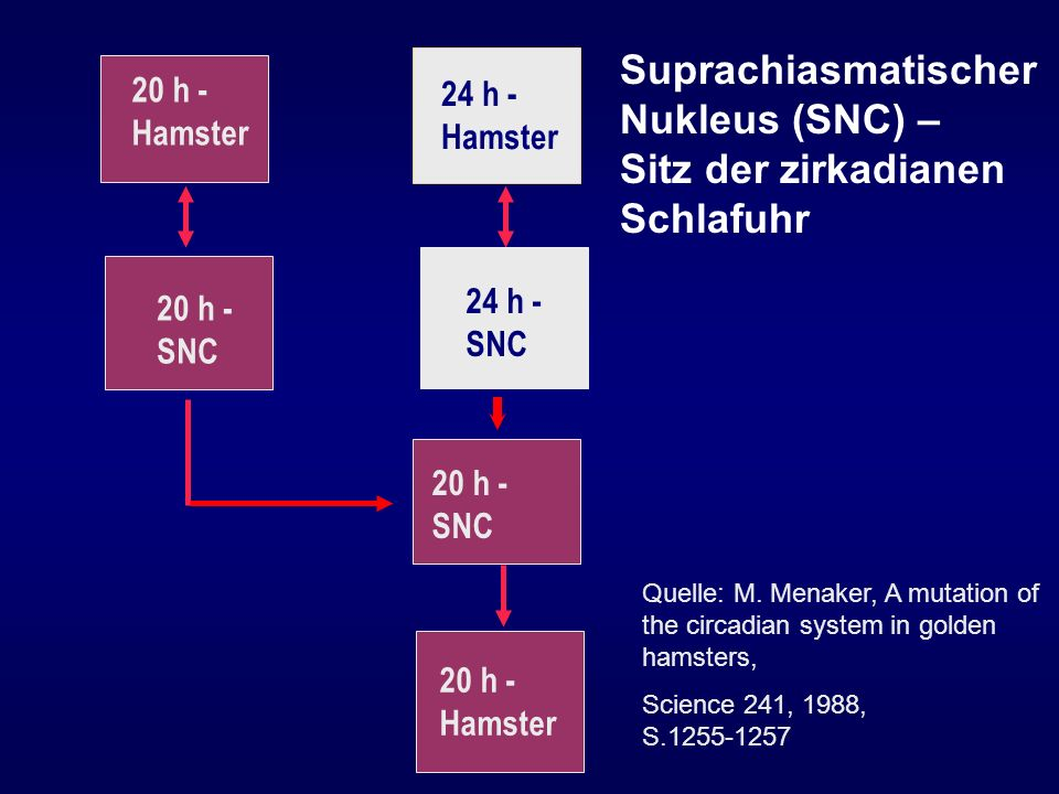 24 h - Hamster 20 h - Hamster Quelle: M. Menaker, A mutation of the circadian system in golden hamsters, Science 241, 1988, S.1255-1257 Suprachiasmati