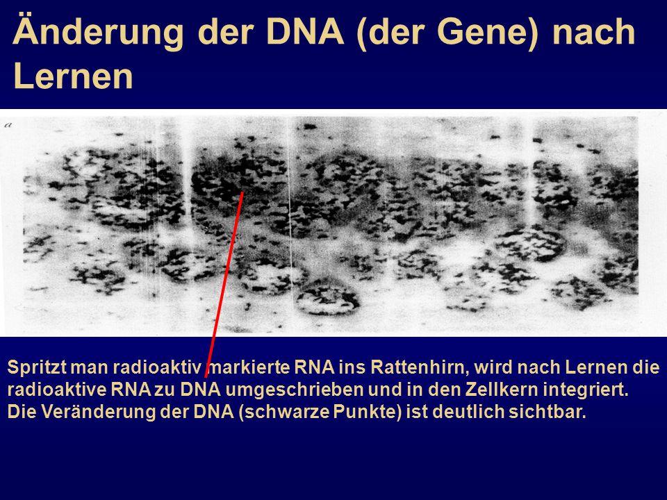 Änderung der DNA (der Gene) nach Lernen Spritzt man radioaktiv markierte RNA ins Rattenhirn, wird nach Lernen die radioaktive RNA zu DNA umgeschrieben
