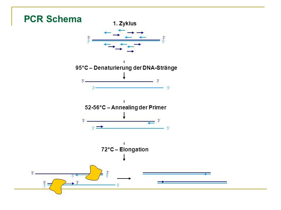 5 5 3 3 53 53 95°C – Denaturierung der DNA-Stränge 52-56°C – Annealing der Primer 72°C – Elongation 5 5 3 3 35 5 3 5 3 35 1. Zyklus PCR Schema