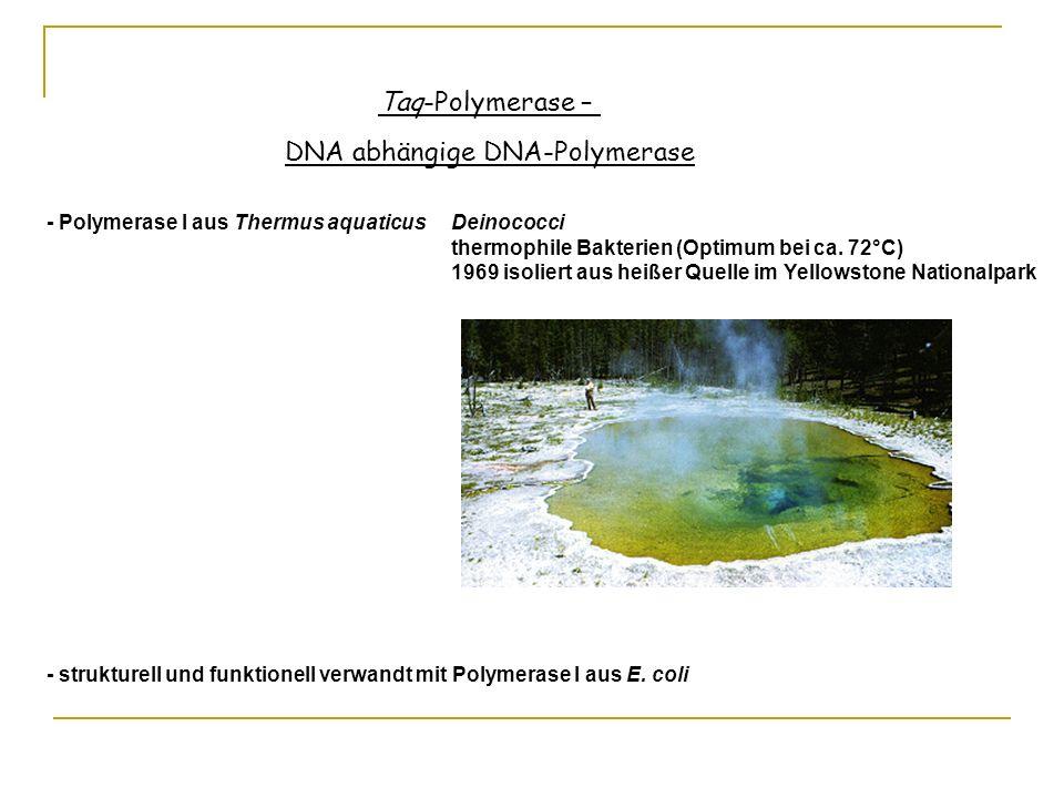 Taq-Polymerase – DNA abhängige DNA-Polymerase - Polymerase I aus Thermus aquaticus Deinococci thermophile Bakterien (Optimum bei ca. 72°C) 1969 isolie