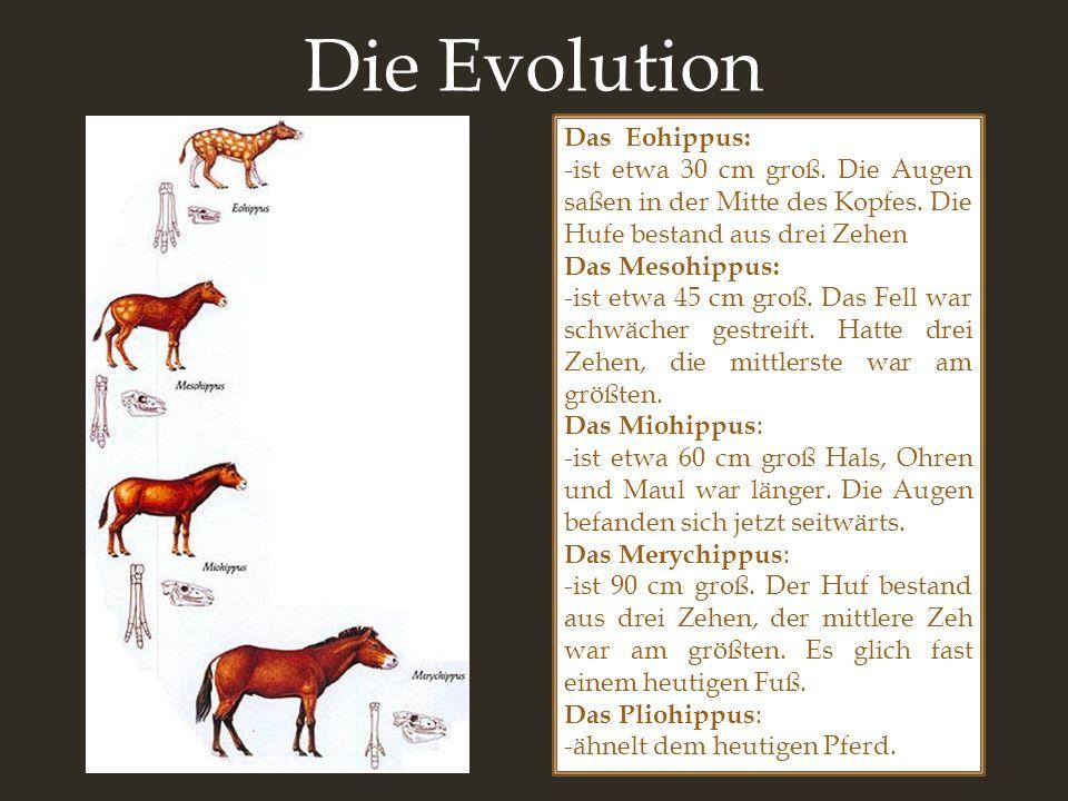 Die Evolution Das Eohippus: -ist etwa 30 cm groß. Die Augen saßen in der Mitte des Kopfes. Die Hufe bestand aus drei Zehen Das Mesohippus: -ist etwa 4