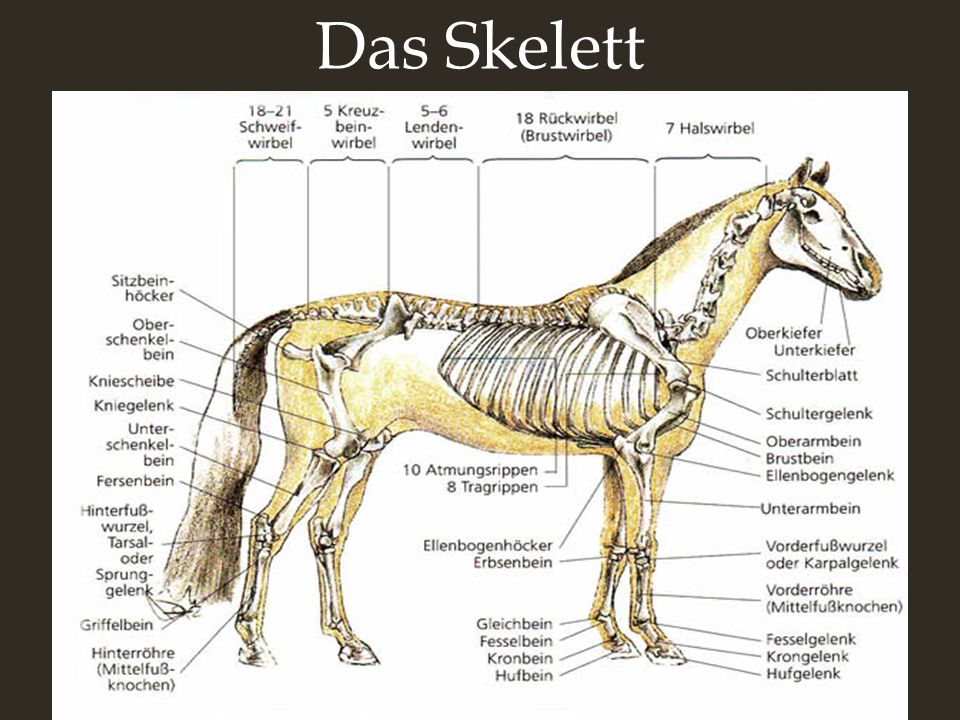 Der Vergleich Der Mensch: Das Pferd: -hat ca. 206 Knochen - hat ca. 205 Knochen