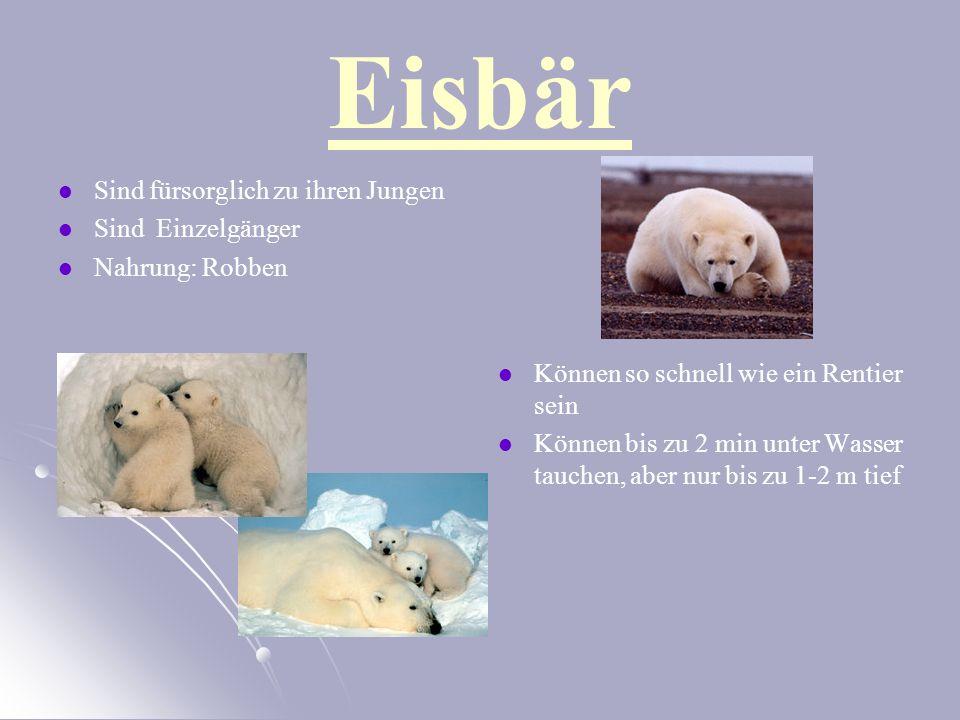 Eisbär Sind fürsorglich zu ihren Jungen Sind Einzelgänger Nahrung: Robben Können so schnell wie ein Rentier sein Können bis zu 2 min unter Wasser tauchen, aber nur bis zu 1-2 m tief