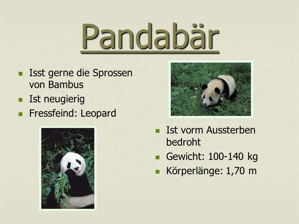Pandabär Isst gerne die Sprossen von Bambus Ist neugierig Fressfeind: Leopard Ist vorm Aussterben bedroht Gewicht: 100-140 kg Körperlänge: 1,70 m
