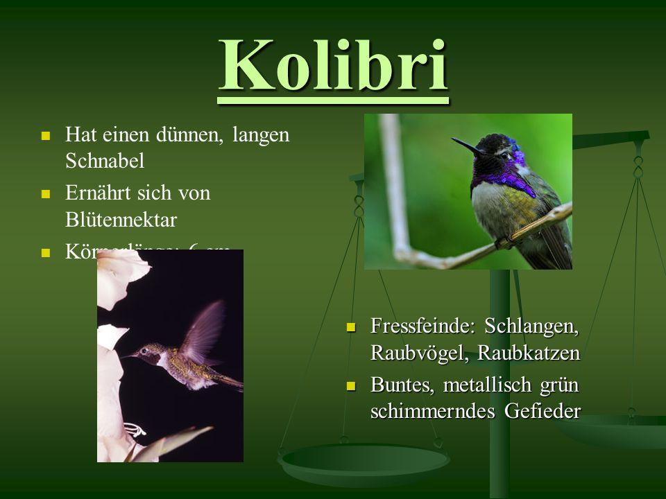 Kolibri Hat einen dünnen, langen Schnabel Ernährt sich von Blütennektar Körperlänge: 6 cm Fressfeinde: Schlangen, Raubvögel, Raubkatzen Buntes, metallisch grün schimmerndes Gefieder