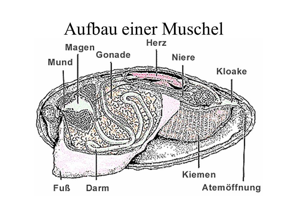 Körbchenmuschel Die Körbchenmuscheln stammen australasiatischen und afrikanischen Regionen. 1938 wurden sie in Nordamerika zuerst entdeckt, 1979 in Sü