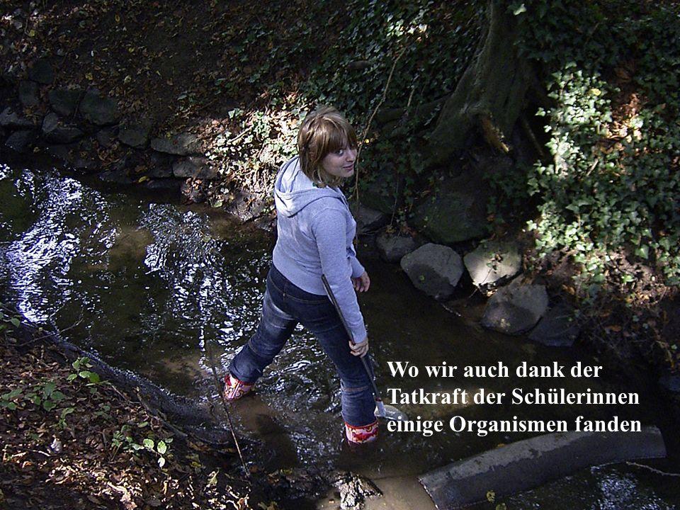 Nahe der Mülheimer Brücke fanden wir die Körbchenmuschel (Corbicula fluminea) in großen Mengen und jedem Alter.