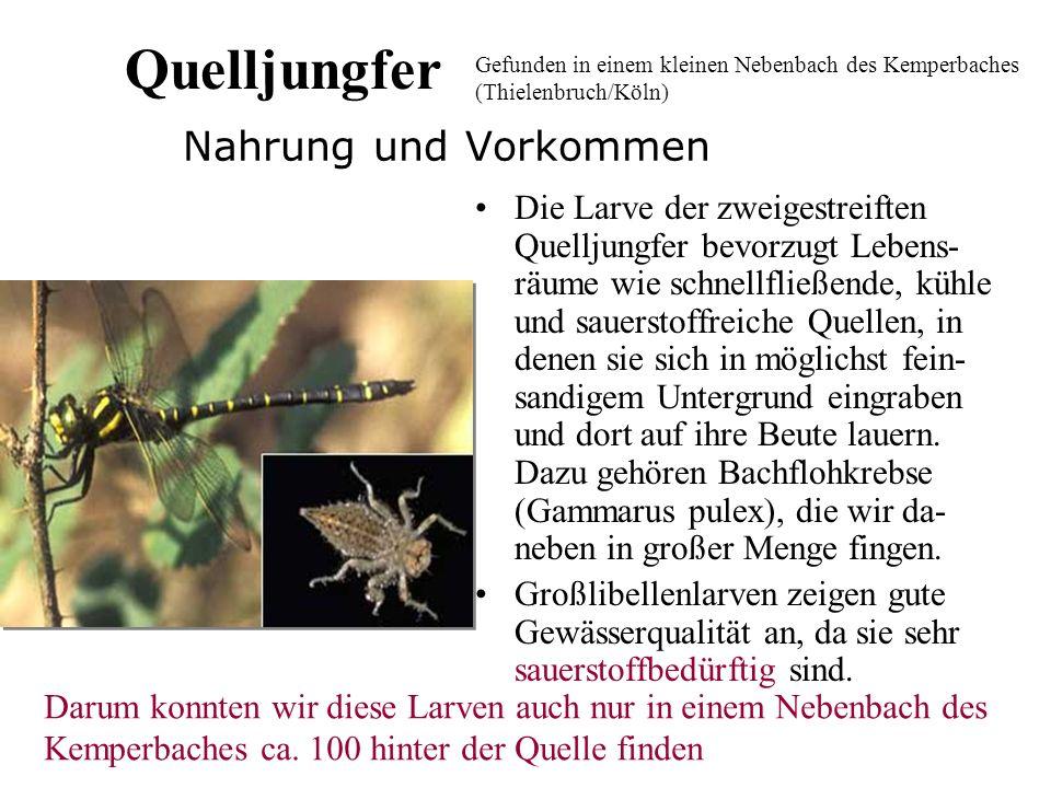 Der Rollegel Der Rollegel (lat. Erpodella octoculata ) Der Rollegel lebt meist unter Steinen, Pflanzen und in engen Spalten,da er sehr anpassungsfähig