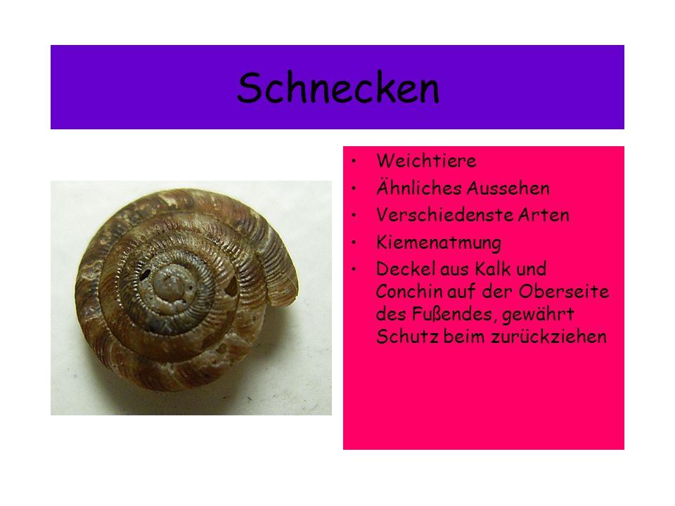Gemeine Turmschnecke Ist an Westeuropäischen Meeren zufinden, doch da der Rhein sehr Salzhaltig ist, kann man sie auch dort vorfinden 5mm hoch Kegelförmig