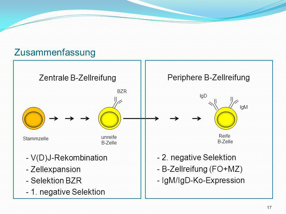 Zusammenfassung Zentrale B-Zellreifung - V(D)J-Rekombination - Zellexpansion - Selektion BZR - 1. negative Selektion Periphere B-Zellreifung - 2. nega