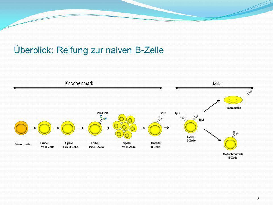 Zentrale B-Zellreifung im Knochenmark Frühe Späte Frühe Späte Unreife Pro-B-Zelle Pro-B-Zelle Prä-B-Zelle Prä-B-Zelle B-Zelle Stammzelle D-J-Umordnung H-Kette V-DJ-Umordnung H-Kette V-J-Umordnung L-Kette Prä-BZR BZR Kontrollpunkte 3
