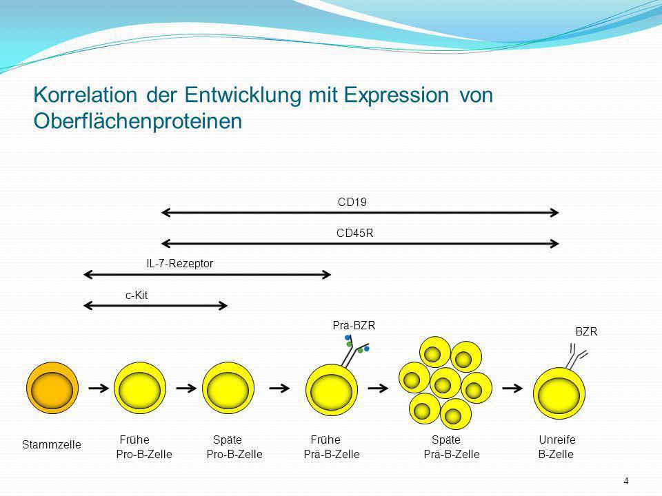 Korrelation der Entwicklung mit Expression von Oberflächenproteinen Stammzelle CD19 CD45R IL-7-Rezeptor c-Kit Frühe Späte Frühe Späte Unreife Pro-B-Ze