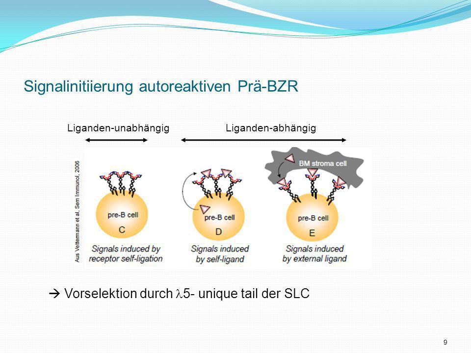 Signalinitiierung autoreaktiven Prä-BZR Liganden-abhängigLiganden-unabhängig Vorselektion durch 5- unique tail der SLC 9