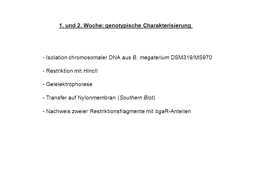 1. und 2. Woche: genotypische Charakterisierung - Isolation chromosomaler DNA aus B. megaterium DSM319/MS970 - Restriktion mit HincII - Gelelektrophor