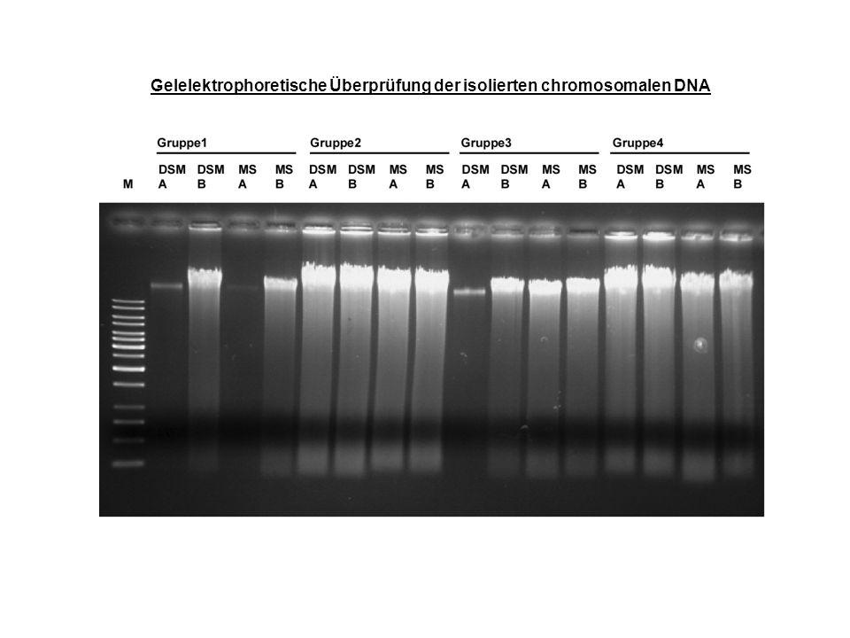 Gelelektrophoretische Überprüfung der isolierten chromosomalen DNA
