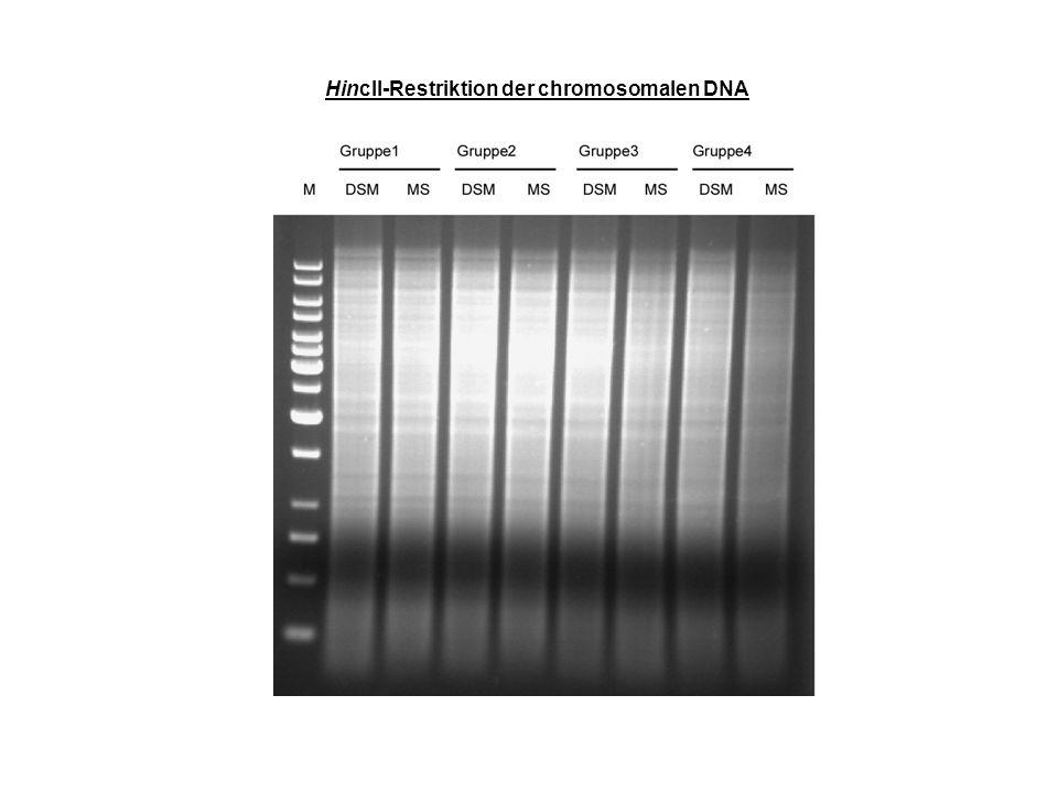 Hybridisierung der chromosomalen DNA mit einem Digoxygenin-markierten EcoRI-Fragment aus pUCXL