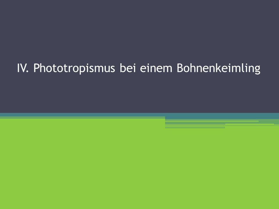 IV. Phototropismus bei einem Bohnenkeimling