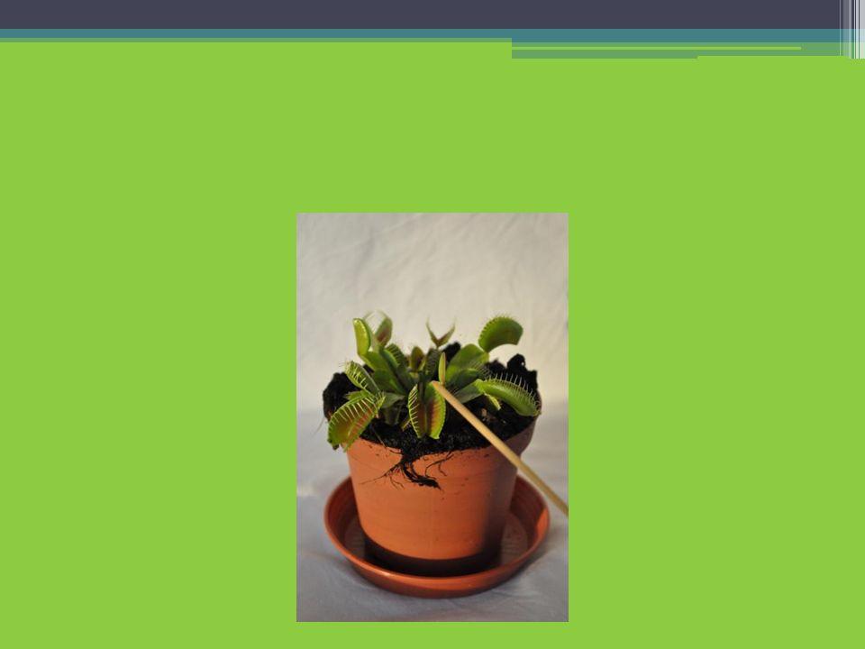 V. Gravitropismus bei Bohnen bzw. Sonnenblumenkeimlingen
