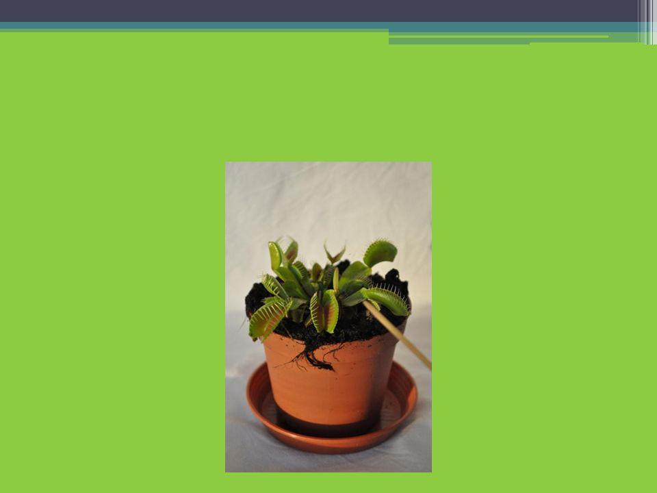III. Phototropismus bei Sonnenblumenkeimlingen