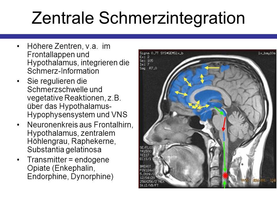 Zentrale Schmerzintegration Höhere Zentren, v.a. im Frontallappen und Hypothalamus, integrieren die Schmerz-Information Sie regulieren die Schmerzschw