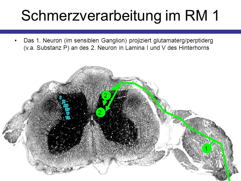 Schmerzverarbeitung im RM 1 Das 1. Neuron (im sensiblen Ganglion) projiziert glutamaterg/perptiderg (v.a. Substanz P) an des 2. Neuron in Lamina I und