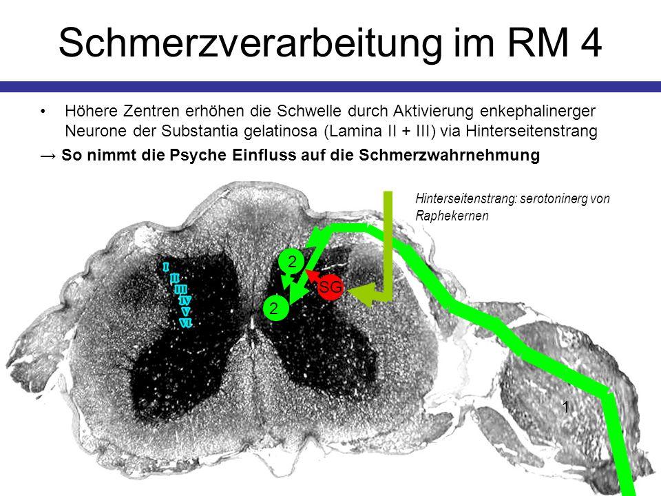 Schmerzverarbeitung im RM 4 Höhere Zentren erhöhen die Schwelle durch Aktivierung enkephalinerger Neurone der Substantia gelatinosa (Lamina II + III)
