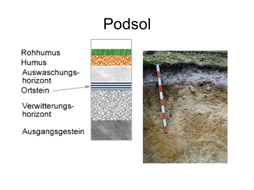 Bodentyp der Heidelandschaft: (azonaler) Podsol - auch Bleicherde genannt - kalk- und Nährstoffarm - durch Säuren gebleicht - hat Tonmineralien verloren - hier: durch Mensch entstanden (Nutzung als Weidelandschaft)