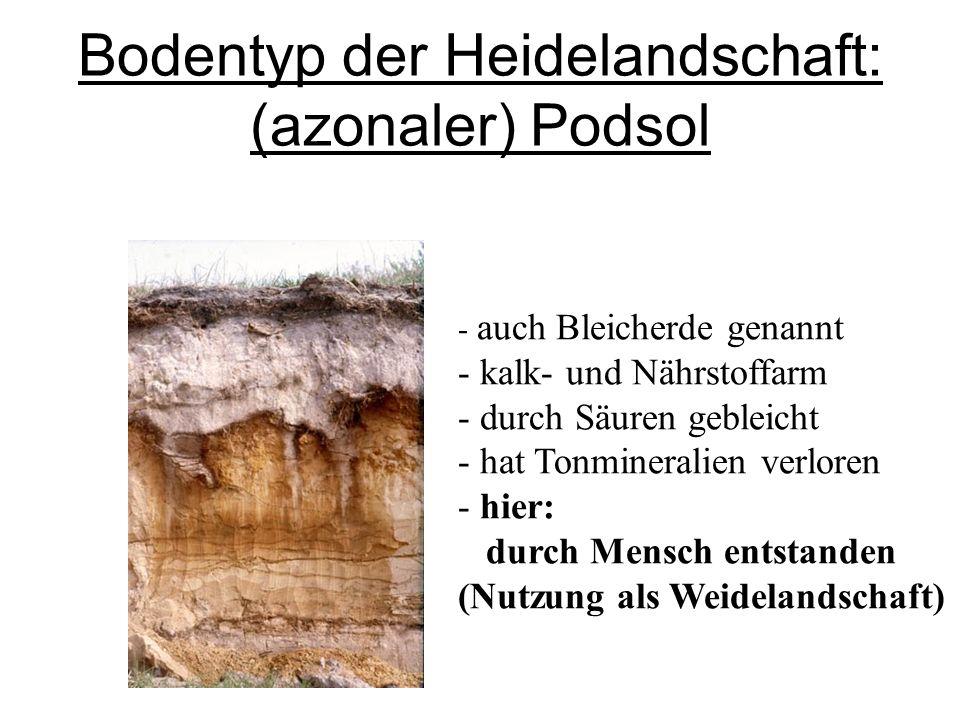 Bodentyp der Heidelandschaft: (azonaler) Podsol - auch Bleicherde genannt - kalk- und Nährstoffarm - durch Säuren gebleicht - hat Tonmineralien verlor