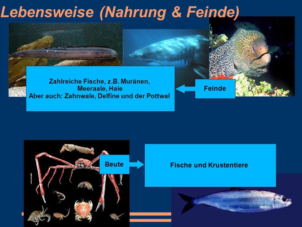 Lebensweise (Nahrung & Feinde) Zahlreiche Fische, z.B. Muränen, Meeraale, Haie Aber auch: Zahnwale, Delfine und der Pottwal Fische und Krustentiere Fe