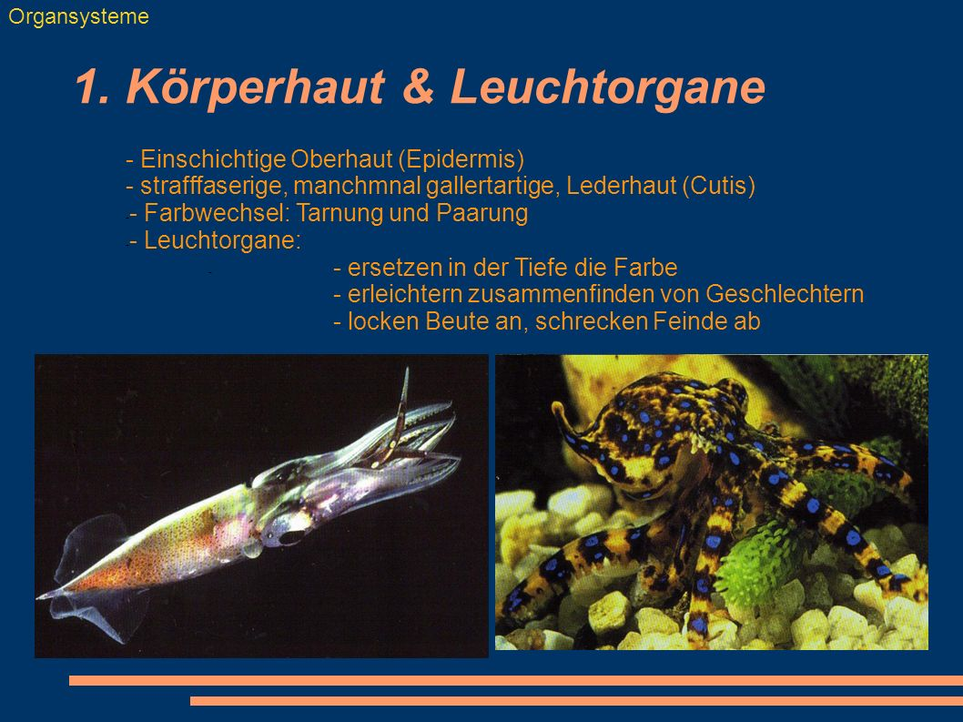 1. Körperhaut & Leuchtorgane Organsysteme - Einschichtige Oberhaut (Epidermis) - strafffaserige, manchmnal gallertartige, Lederhaut (Cutis) - - Farbwe