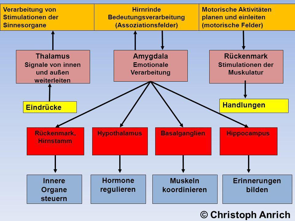 Motorische Aktivitäten planen und einleiten (motorische Felder) Hirnrinde Bedeutungsverarbeitung (Assoziationsfelder) Verarbeitung von Stimulationen d